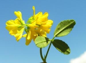 Trëndelina, bima medicinale që stimulon prodhimin natyral të insulinës
