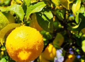 Fuqia kurative e gjetheve të limonit, si t'i përdorni